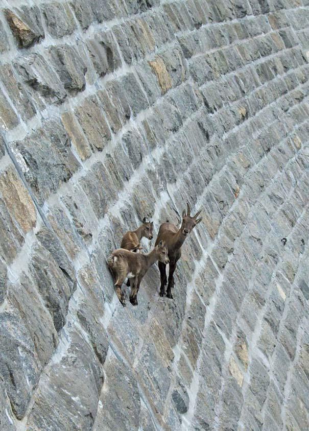 Αγριοκάτσικα - ορειβάτες που δεν ξέρουν τι θα πει φόβος (4)