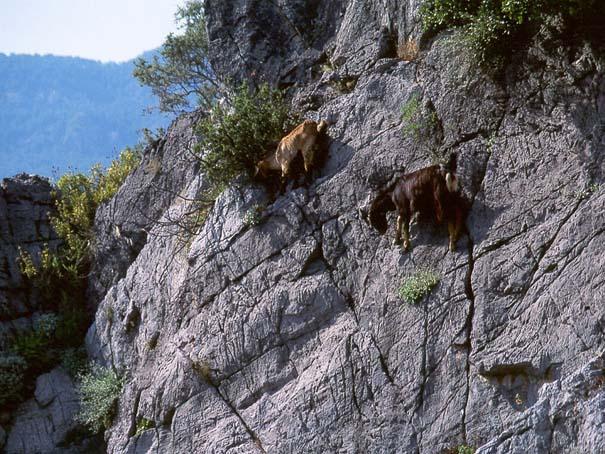 Αγριοκάτσικα - ορειβάτες που δεν ξέρουν τι θα πει φόβος (8)