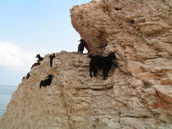 Αγριοκάτσικα - ορειβάτες που δεν ξέρουν τι θα πει φόβος (10)