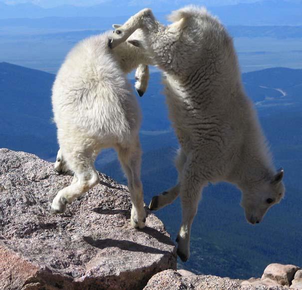 Αγριοκάτσικα - ορειβάτες που δεν ξέρουν τι θα πει φόβος (12)