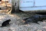 Αλιγάτορας εναντίον γάτας