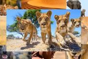 Απίστευτες εικόνες λιονταριών με τηλεκατευθυνόμενη κάμερα