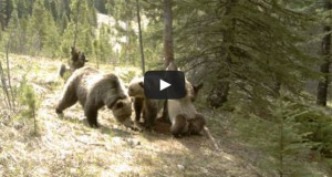 Τι κάνουν οι αρκούδες μόνες τους στο δάσος (Video)