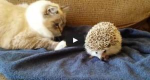 Γάτα μαθαίνει πως δεν πρέπει να τα βάζει με τον σκαντζόχοιρο (Video)