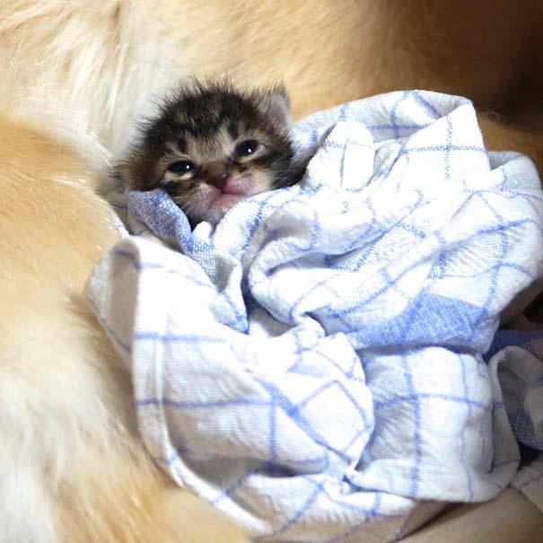 Golden retriever υιοθέτησε ορφανό γατάκι (2)