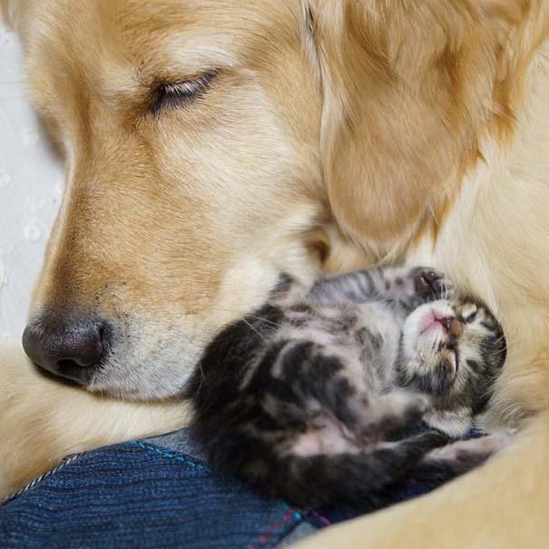 Golden retriever υιοθέτησε ορφανό γατάκι (7)