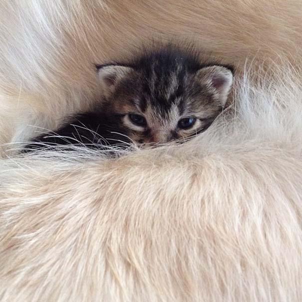 Golden retriever υιοθέτησε ορφανό γατάκι (3)