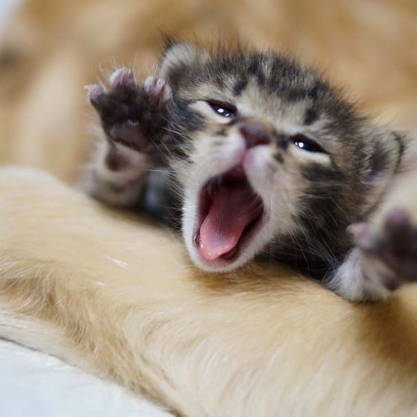 Golden retriever υιοθέτησε ορφανό γατάκι (5)
