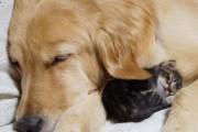 Golden retriever υιοθέτησε ορφανό γατάκι (6)