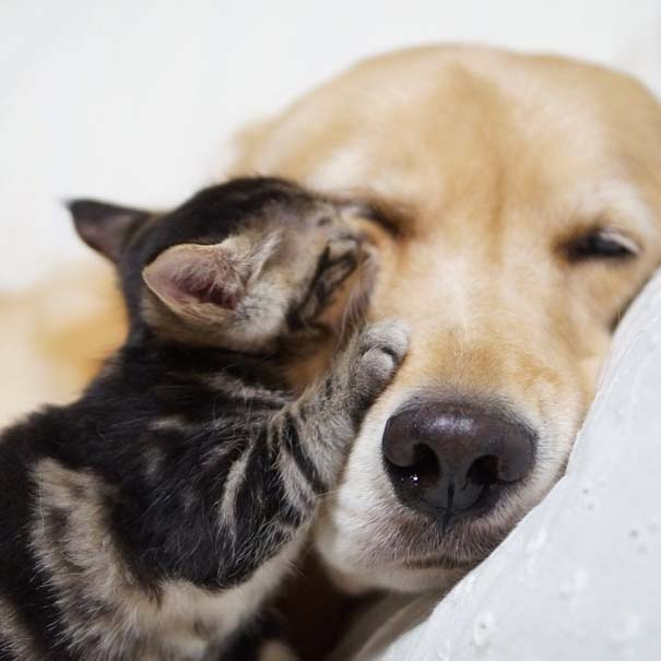 Golden retriever υιοθέτησε ορφανό γατάκι (13)
