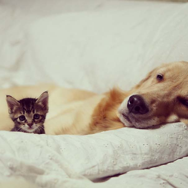 Golden retriever υιοθέτησε ορφανό γατάκι (4)
