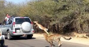 Αντιλόπη πήδηξε μέσα σε αυτοκίνητο για να γλυτώσει από τσιτάχ (Video)