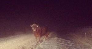 Η καταστροφική «συνάντηση» ενός ταύρου με ένα αυτοκίνητο