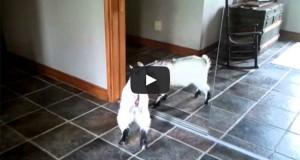 Κατσικάκι κουτουλάει το είδωλο του στον καθρέφτη (Video)