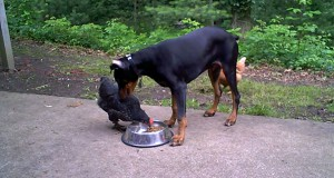 Κότα κλέβει τροφή από Doberman (Video)