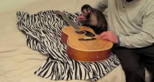 Μαϊμού μαθαίνει να παίζει κιθάρα (Video)