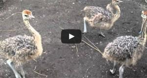 Μωρά στρουθοκάμηλοι επιδίδονται σε τρελό χορό σαν μεθυσμένες (Video)