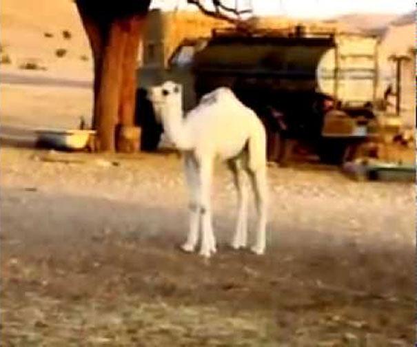 Μωρό καμήλας εμφανίζεται από το πουθενά