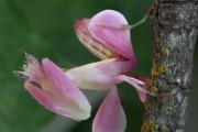 Orchid Mantis (1)