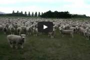 Πρόβατα σε μαζική διαμαρτυρία