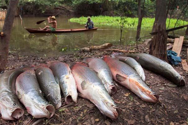 Ψάρεμα στον Αμαζόνιο (9)