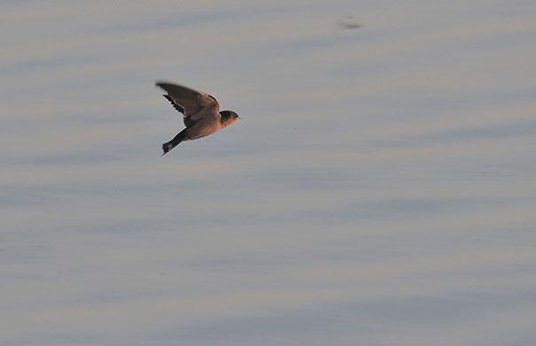 Ψάρι πιάνει... πουλιά στον αέρα