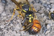 Σφήκα εναντίον μέλισσας
