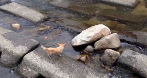Χαριτωμένο σκυλάκι χρησιμοποιεί ένα ποτάμι για να παίξει με την μπάλα του (Video)