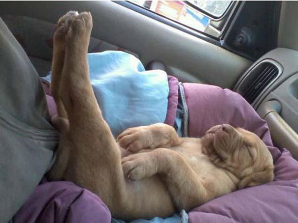 Σκύλοι στις πιο ασυνήθιστες στάσεις ύπνου (2)