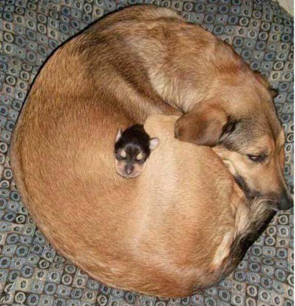 Σκύλοι στις πιο ασυνήθιστες στάσεις ύπνου (12)