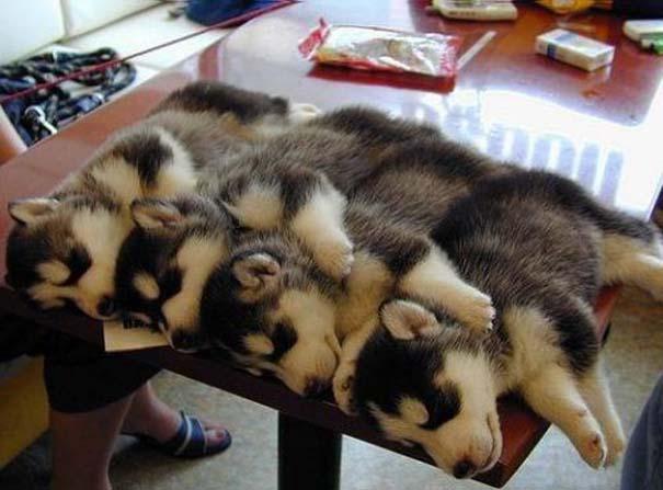 Σκύλοι στις πιο ασυνήθιστες στάσεις ύπνου (16)