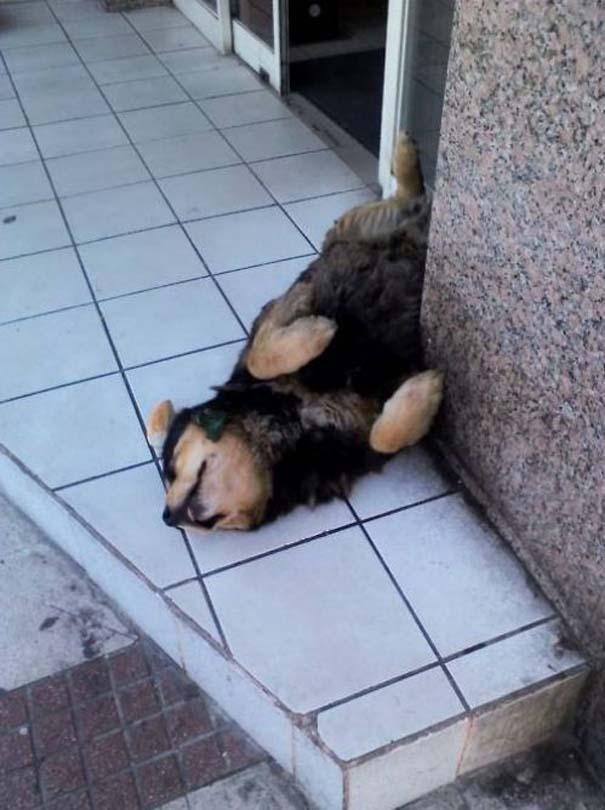 Σκύλοι στις πιο ασυνήθιστες στάσεις ύπνου (25)