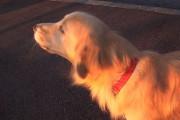 Σκύλος προσπαθεί να μιμηθεί σειρήνα