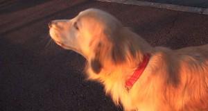 Σκύλος προσπαθεί να μιμηθεί σειρήνα (Video)