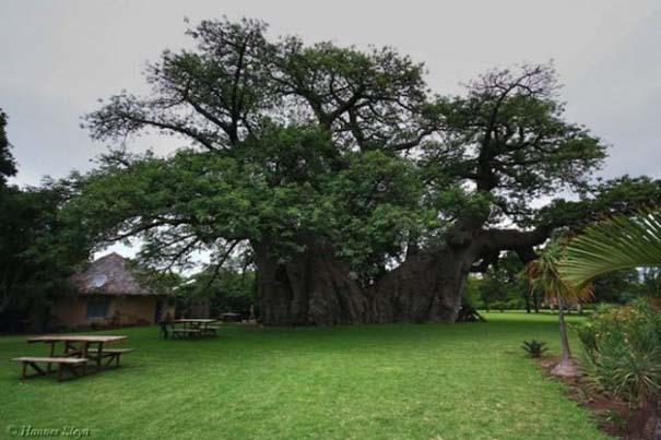Στο εσωτερικό ενός ζωντανού δέντρου 6.000 ετών (1)