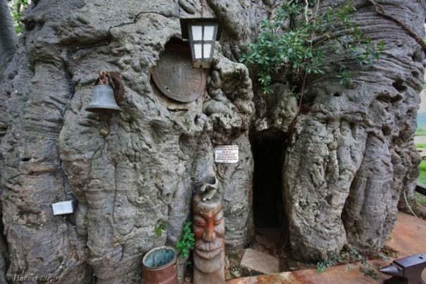 Στο εσωτερικό ενός ζωντανού δέντρου 6.000 ετών (2)