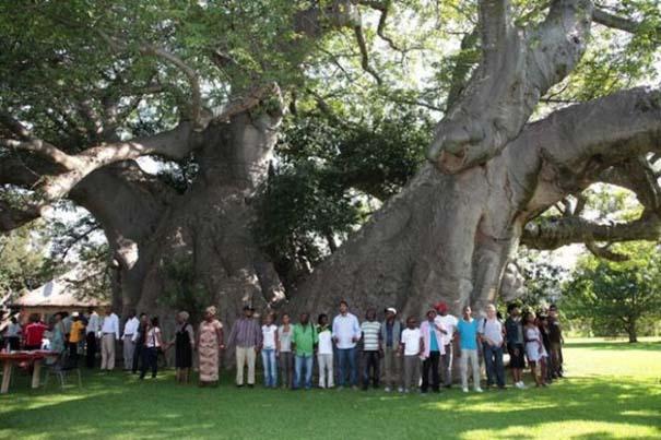 Στο εσωτερικό ενός ζωντανού δέντρου 6.000 ετών (8)