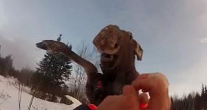 Έφαγε ξύλο από τη νεαρή άλκη που μόλις είχε ελευθερώσει (Video)