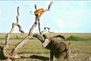 Ελέφαντας εναντίον λιονταριού (1)