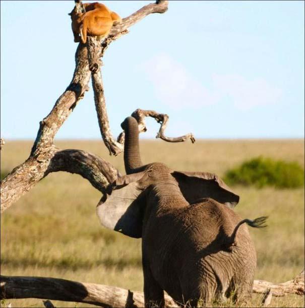 Ελέφαντας εναντίον λιονταριού (2)