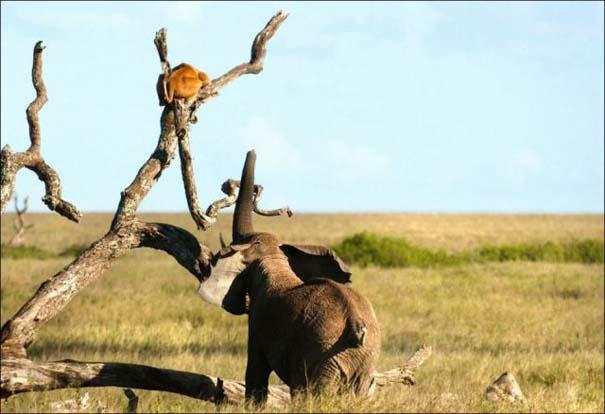 Ελέφαντας εναντίον λιονταριού (3)
