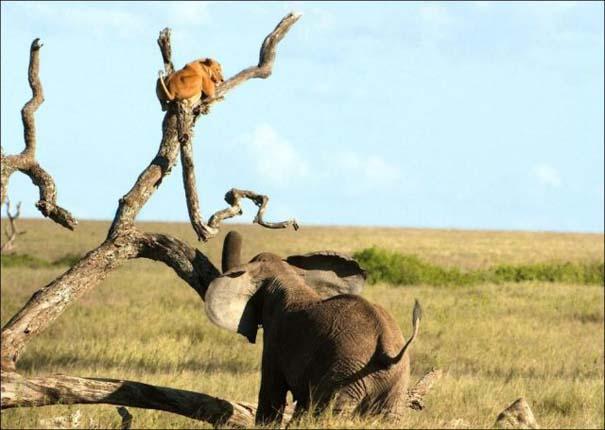 Ελέφαντας εναντίον λιονταριού (5)