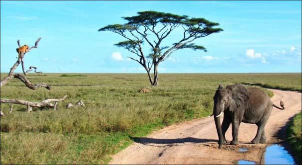 Ελέφαντας εναντίον λιονταριού (6)
