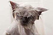 Φωτογραφίες που αποδεικνύουν πως οι γάτες μισούν το μπάνιο (1)