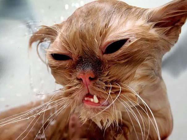 Φωτογραφίες που αποδεικνύουν πως οι γάτες μισούν το μπάνιο (3)
