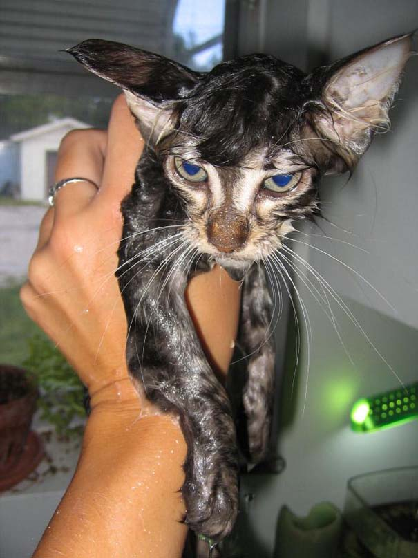 Φωτογραφίες που αποδεικνύουν πως οι γάτες μισούν το μπάνιο (9)