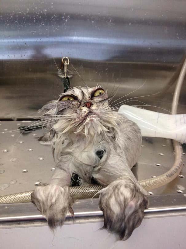 Φωτογραφίες που αποδεικνύουν πως οι γάτες μισούν το μπάνιο (19)
