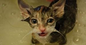 Γάτες που λατρεύουν το μπάνιο (Video)