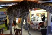 Καμηλοπάρδαλη κάνει βόλτα μέσα σε εστιατόριο