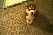 Μικροσκοπικό κουτάβι Χάσκι κάνει από τώρα ακριβώς ότι του ζητάνε